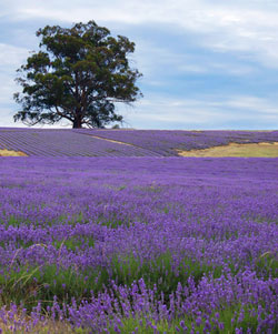 Isle of wight lavender for a fragrant day out